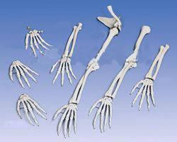 Кістки руки, кисті, ключиці
