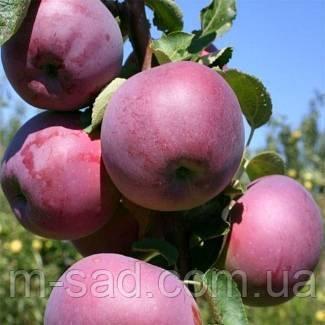 Яблоня Вильямс Прайд (скороплодный,сочный,вкусный)