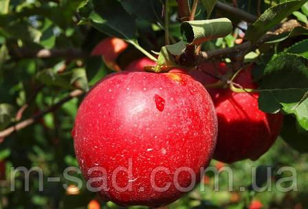Яблоня Гала Шнига (ранний,кисло сладкий,скороплодный), фото 2