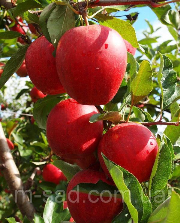 Яблоня Гала Шнига (ранний,кисло сладкий,скороплодный)