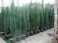 Можжевельник скальный 'Блю Арроу' (Блю Эрроу) | Ялівець скельний 'Блу Ароу' | Juniperus scopulorum 'Blue Arrow, фото 1