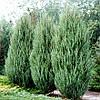 Можжевельник скальный 'Скайрокет' | Ялівець скельний 'Скайрокет' | Juniperus scopulorum 'Skyrocket' (ЗКС)