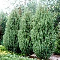 Можжевельник скальный 'Скайрокет' | Ялівець скельний 'Скайрокет' | Juniperus scopulorum 'Skyrocket' (ЗКС), фото 1