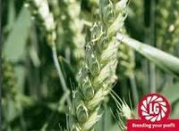 Насіння озимої элита пшениці Лімагрейн Колонія еліта