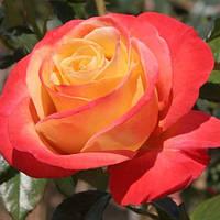 Роза чайно-гибридная \Утопия