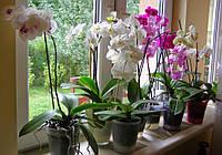 Правильно поливаем орхидеи во время цветения