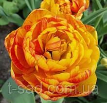 Многоцветковый махровый тюльпан Double Beauty of Apeldoorn 10/11