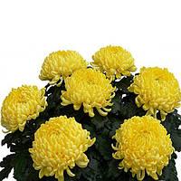 Хризантема Сафранел жёлтая Черенок 5-10 см