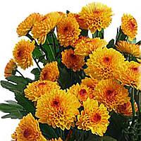 Хризантема Лолипоп жёлтая Черенок 5-10 см