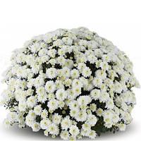 Хризантема Аксима белая Черенок 5-10 см