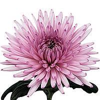 Хризантема Анастасия розовая Рассада 10-15 см