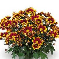 Хризантема Циао Ред огненно-красная Рассада 10-15 см