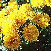 Хризантема Наташа жёлтая Рассада 10-15 см