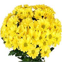Хризантема Бакарди жёлтая  Рассада 10-15 см