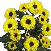 Хризантема Тедча жёлто-чёрная  Куст