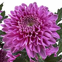 Хризантема Резоме тёмно-сиреневая  Куст