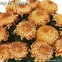 Хризантема Сир Де Луисет красная Черенок 5-10 см