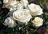 Роза плетистая  Вайт Бьюти