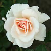 Роза плетистая Пени Лайн