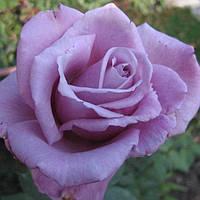 Роза плетистая Вандел Блю