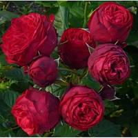 Саженец розы ПИАНО PIANO