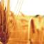 Озима пшениця Мілтон Seed Grain Company