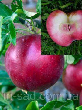 Яблония  Ред Девил ( эксклюзив,красная мякоть плодов)