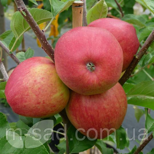 Саженцы яблони Пинова(скороплодный,сладкий)