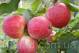 Яблоня Пирос (Пирус) (летний сорт,кисло сладкий)