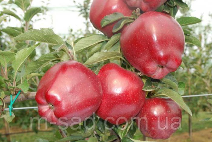 Яблоня Ред Чиф (однолетний,сладкий,поздний,скоро плодный)