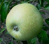 Яблоня Симиренко(поздний,сочный,ароматный)