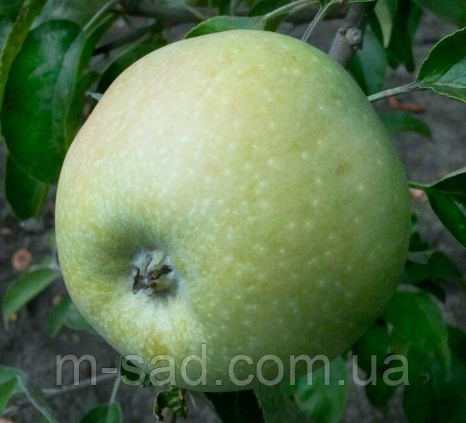 Яблуня Ренет Симиренка(пізній,соковитий,ароматний)