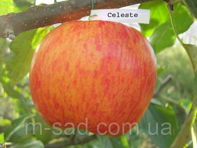 Саджанці Яблуні Селесте (Целесті)(скороплідний,високоврожайний середньоранній)