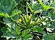 Семена кабачка Серена F1 \ Serena F1 500 семян Syngenta, фото 5