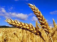 Пшениця для виготовлення борошна (зерно в мішках по 25 кг.)