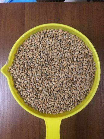 Пшениця для пророщування (пакет 2 кг.)