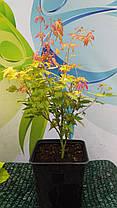 Клен пальмолистный Вильсон Пинк Дварф \ Acer palmatum 'Wilson's Pink Dwarf'  ( саженцы 2л ), фото 3