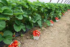 Правила отличного и качественного урожая: уход за клубникой и земляникой весной