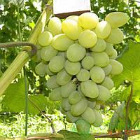 Саженцы винограда Галахад