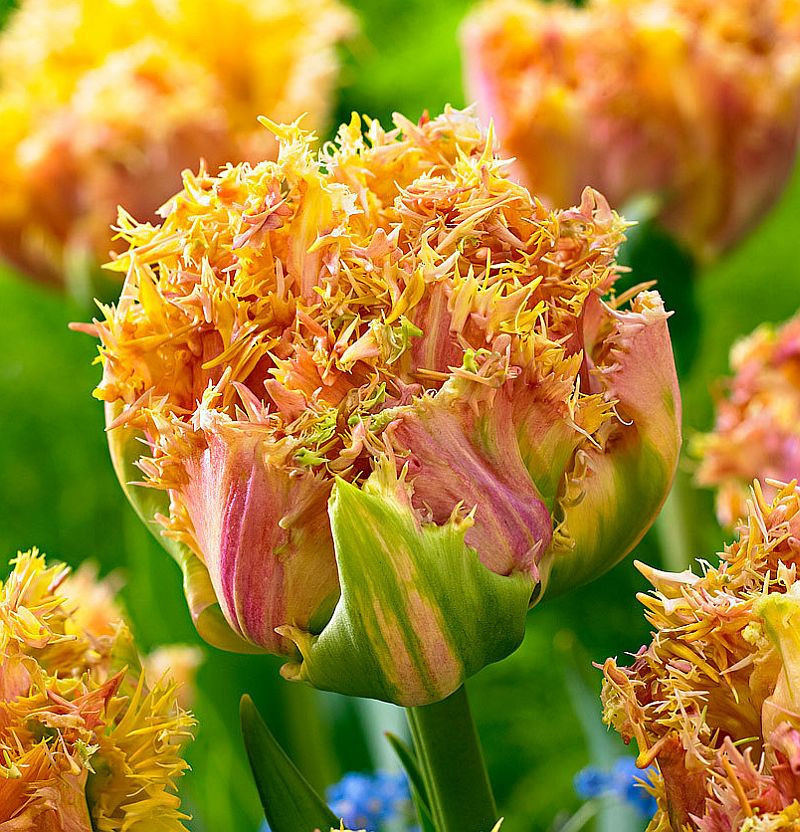 Тюльпан Esprit (Эсприт) луковица 12+