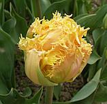Тюльпан Esprit (Эсприт) луковица 12+, фото 3