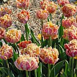 Тюльпан Esprit (Эсприт) луковица 12+, фото 4
