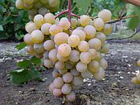 Саженец винограда Голодриги
