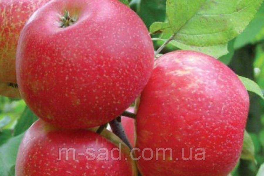 Саженцы Яблони Хоней Крисп(скороплодный,урожайный,кисло сладкий)
