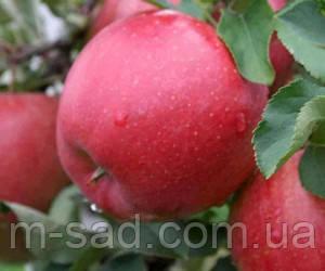 Яблоня Чемпион Ред(скороплодный,сладкий,крупный)