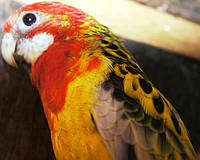 Папуга Розелла строката (Platycercus eximius).