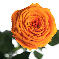 Долгосвежая роза Оранжевый Цитрин 7карат в подарочной упаковке, фото 1