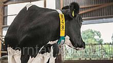 Датчик CowScout для определения охоты и мониторинга здоровья