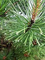 Сосна австрийская 'Пирамидалис' Pinus nigra 'Piramidalis' h2,2+м C220L