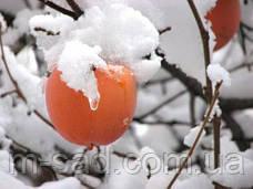 Саженцы привитой Хурмы Росиянка (подвой виргинка,самоплодный), фото 3